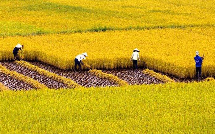 ý nghĩa giấc mơ thấy đồng lúa gạo