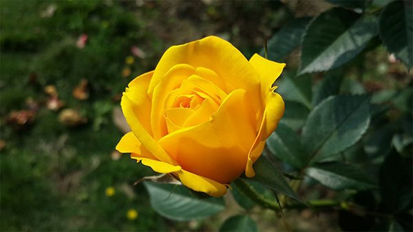 nằm mơ thấy hoa hồng vàng
