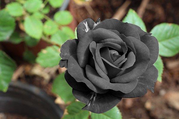 nằm mơ thấy hoa hồng đen